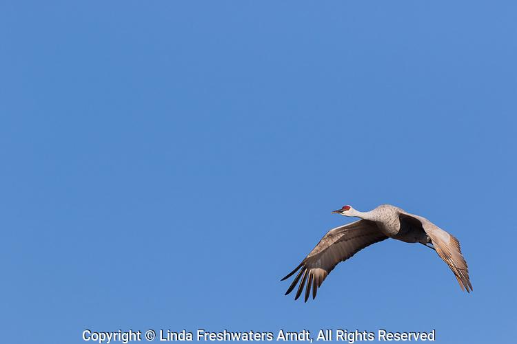 Sandhill crane flying over Crex Meadows in northwest Wisconsin.