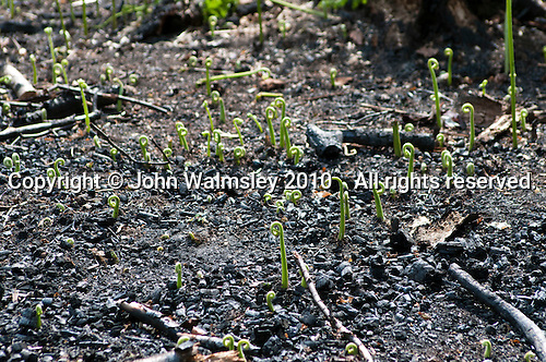Ferns recovering and starting new growth after a fire burnt everything to the ground.