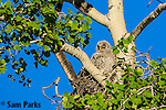 Great gray owlets in nest. Grand Teton National Park, Wyoming.