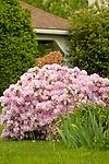 Azalea bush in spring