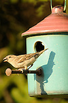House sparrow perched with antique ceramic bird house.