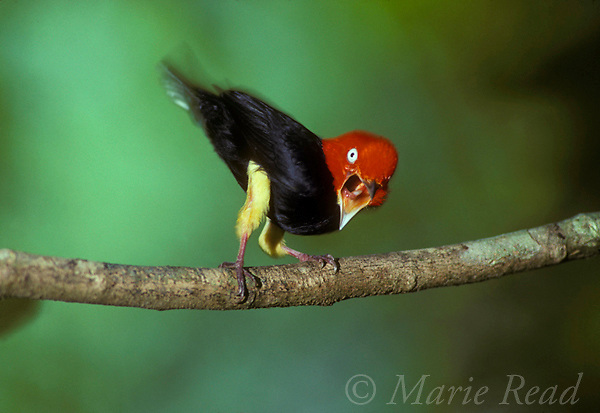 Red-capped Manakin (Pipra mentalis) male calling during courtship display, Soberania National Park, Panama. <br /> Slide B103-505