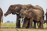 Elephants with curled up trunks