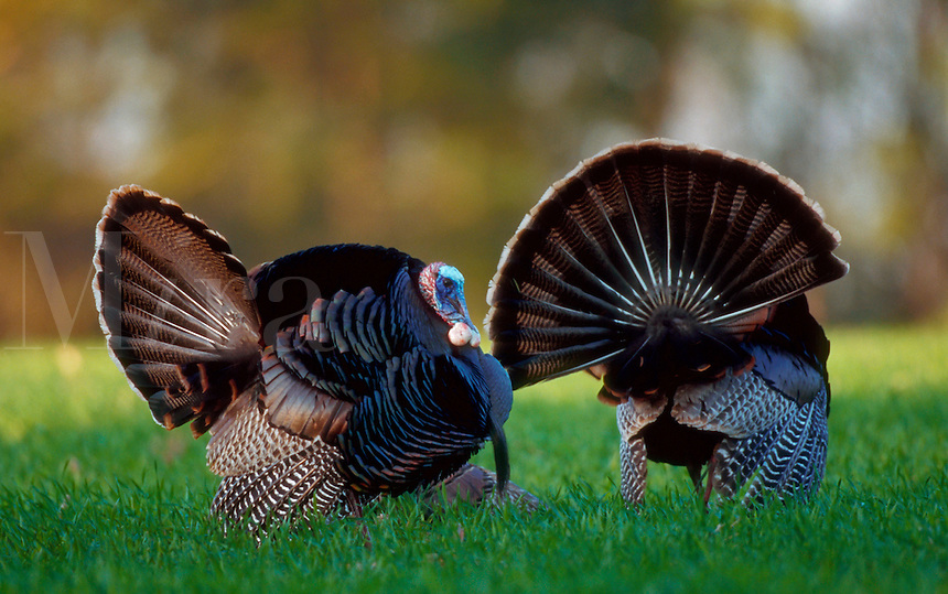 An Eastern Wild Turkey courting gobblers strutting.