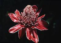 Phaeomeria Magnifica orig. Java