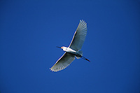 A Snowy egret (E. thula)in flight.