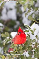 01530-21215 Northern Cardinal (Cardinalis cardinalis) male in American Holly tree (Ilex opaca) in winter, Marion Co., IL