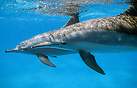 mother and child, spinner dolphins underneath the surface, shaab samadai, red sea, egypt, Stenella longirostris
