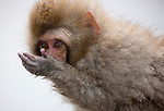 Japan, Japanese Alps, young snow monkey