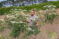 Wiesen-Bärenklau, Wiesenbärenklau, Gemeiner Bärenklau, mit Junge, Kind als Größenvergleich, Heracleum sphondylium, common hogweed