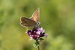 Brown Argus Butterfly, Aricia agestis, Queensdown Warren, Kent Wildlife Trust, UK, nectaring on flower, wings open