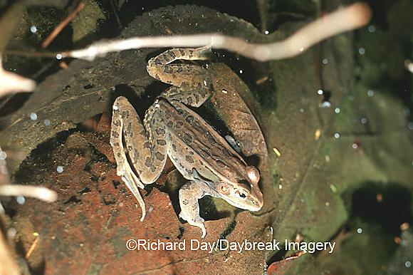 02487-001.03 (TF) Southern leopard frog (Rana sphenocephala)    IL