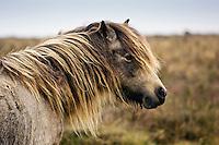 Pony grazing on the moor, Dartmoor, Devon,  United Kingdom