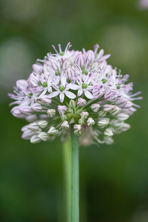 Allium decipiens, mid May. Native to Central Asia and China. It bears pretty clusters of lilac-pink, star-shaped flowers on tall stems.