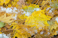 Snow and ice on fall foliage maple leaves in autumn, caught by early winter