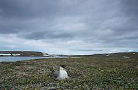 Long-tailed Jaeger, Stercorarius longicaudus, adult sitting on nest, Gednjehogda, Norway, Europe