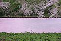 Cherry blossoms at Hirosaki Park in Aomori Prefecture