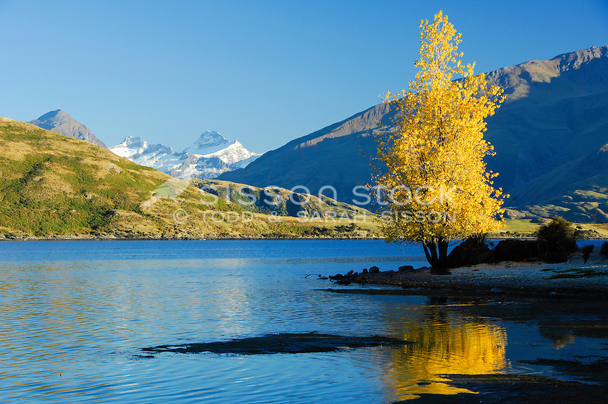 New Zealand landscape Image | Autumn poplar &amp; view of Mt Aspiring - Lake Wanaka, Southern Lakes<br /> <br /> NO NEW ZEALAND SOUVENIR OR POSTCARD LICENCING PERMITTED