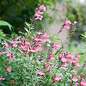 Pink autumn sage (Salvia greggii), mid October.