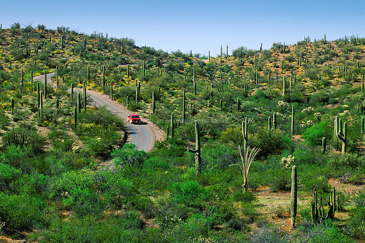 The green of spring, Saguaro Cactus and Ocotillo contrast with a red car traveling the back roads of the Organ Pipe Cactus National Monument, AZ.