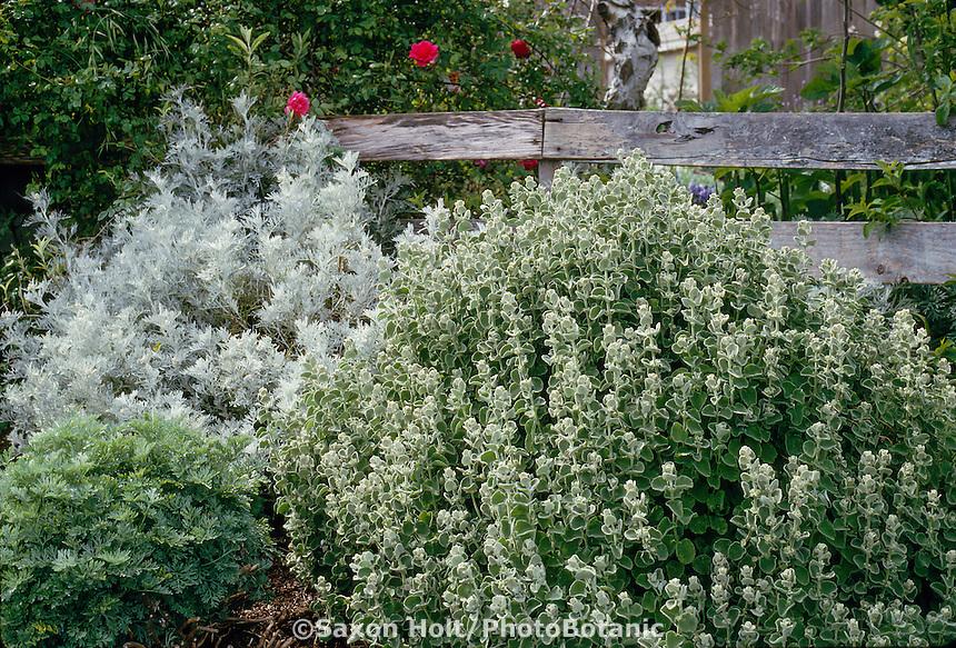 Ballota pseudodictamnus False Dittany) gray foliage perennial shrub with silver foliage Artemisia