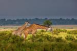 Kenya, Maasai Mara National Reserve, Maasai giraffe (Giraffa camelopardalis tippelskirchii)