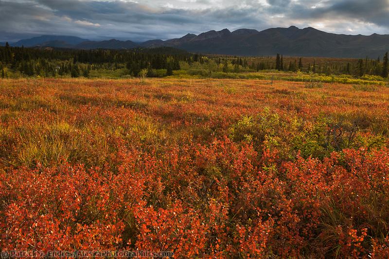 Sunrise over the crimson dwarf birch tundra, Denali National Park, Interior, Alaska.