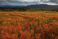 Sunrise over the crimson dwarf birch tundra, Denali National Park, Interior, Alaska.