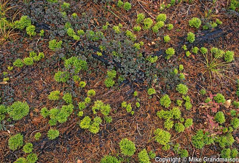 Clubmoss and bearberry after fire, Near Cowan, Manitoba, Canada