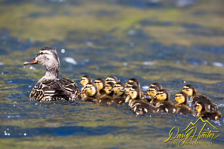 Mallard ducklings, Warm River, Ashton, Idaho