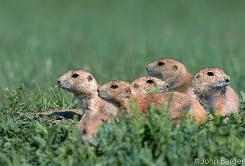 35-M02B-PDB-099    BLACK-TAILED PRAIRIE DOG (Cynomys ludovicianus) group on the lookout, Theodore Roosevelt National Park, North Dakota, USA .