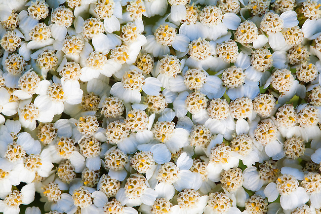Close up view of wild Yarrow flowers