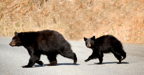 A MOTHER BLACK BEAR AND CUB CROSS A ROAD IN THE FALL AT YOSEMITE NATIONAL PARK, CALIFORNIA