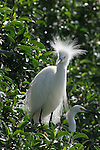 FB-S156  Back small photo, 4x6 postcard, snowy egrets