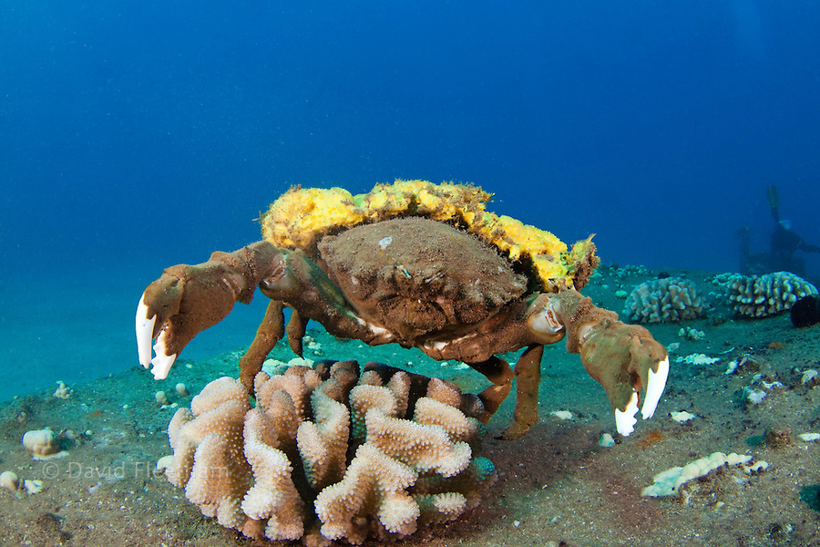 This species of sponge crab, Dromia dormia, is the largest of this family and is pictured carrying a yellow sponge, Hawaii.