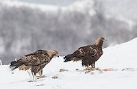 Golden Eagle, Aquila chrysaetos, adult male and female, pair, in snow, Bulgaria