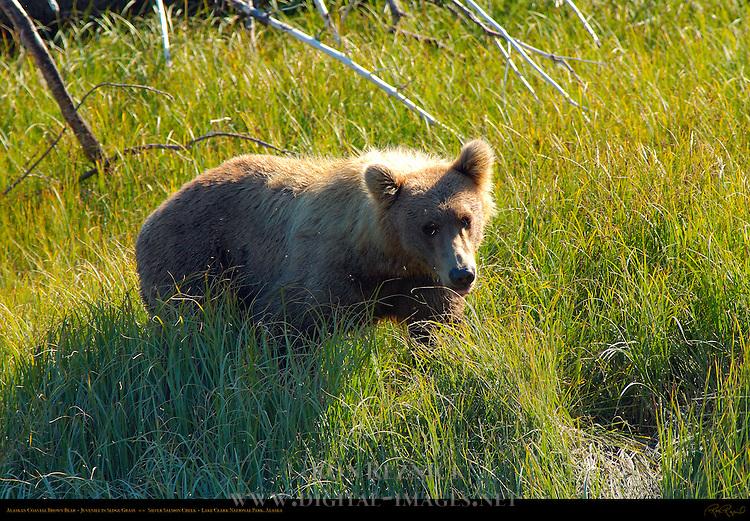 Alaskan Coastal Brown Bear, Juvenile in Sedge Grass, Silver Salmon Creek, Lake Clark National Park, Alaska