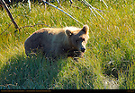 Alaskan Coastal Brown Bear, Juvenile in Sedge Grass, Silver Salmon Creek, Lake Clark National Park, Alaska