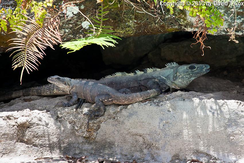 Guatemalan Iguanas, El Ramate, Peten, Guatemala