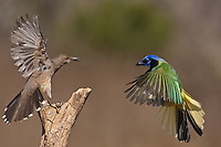 Green Jay (Cyanocorax yncas) and Curve-billed Thrasher (Toxostoma curvirostre), adults fighting, Starr County, Rio Grande Valley, South Texas, USA
