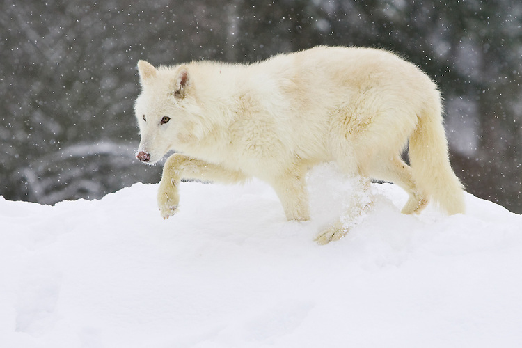 Arctic Fox walking along the top of a snowy ledge during a snow storm - CA
