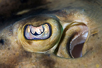 Close up of the eye and spiracle of a Banded Guitarfish, Zapteryx exasperata, Cabo Pulmo, Baja, Mexico, Sea of Cortez.