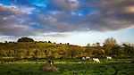 Late evening sunlight with a herd of cows in a field outside Winchester in Hampshire, England