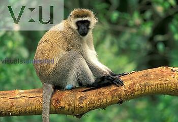 Vervet Monkey ,Cercopithecus aethiops, Kenya, Africa