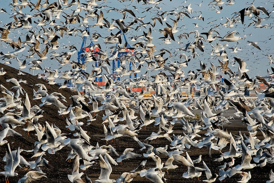 Thousands of seagulls fly over the feedstuff heap in the port of Malaga, Spain, 14 January 2007.