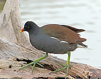 Common gallinule in nonbreeding plumage