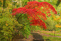 Garden steps and japanese maple, Washington