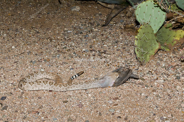 A Western Diamondback Rattlesnake (Crotalus atrox) eating a female Gambel's Quail (Callipepla gambelii), while lying next to a trail of Harvester Ants (Pogonomyrmex maricopa)