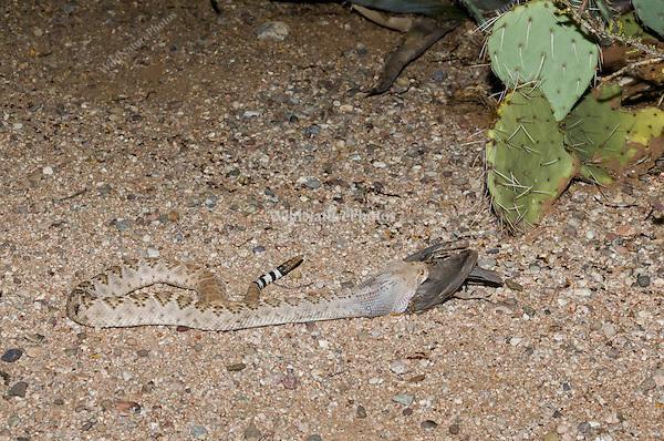 A Western Diamondback Rattlesnake (Crotalus atrox) eating a female Gambel's Quail (Callipepla gambelii), while lying next to a trail of Harvester Ants (Pogonomyrmex maricopa)