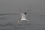 Elegant tern at Moss Landing